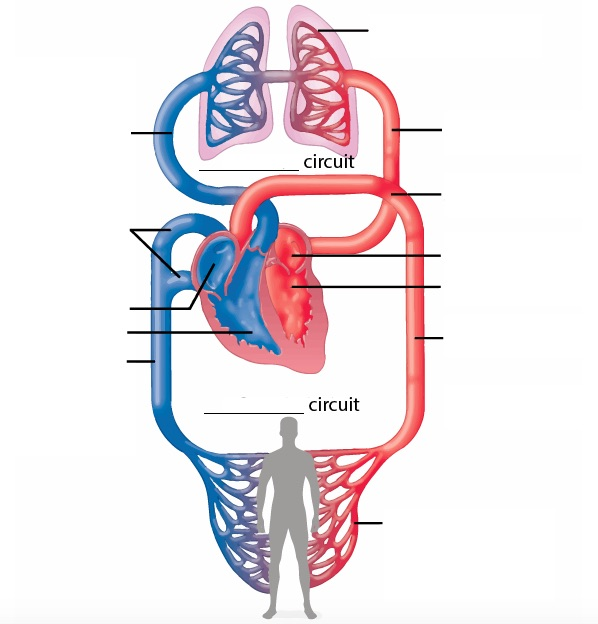 circulatory system no labels - photo #3