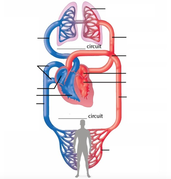 Heart Anatomy Quizzes And Flashcards