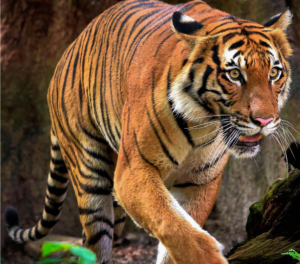 Malayan tiger populations are critically low (Image: WWF)