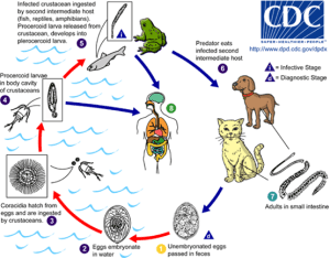 The life cycle of the tapeworm and its avatars. http://www.cdc.gov/dpdx/monthlyCaseStudies/2004/case126.html