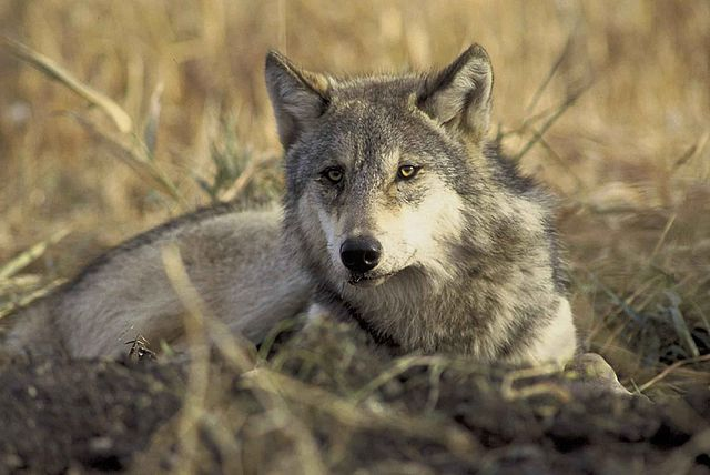 The_endangered_gray_wolf_canis_lupus
