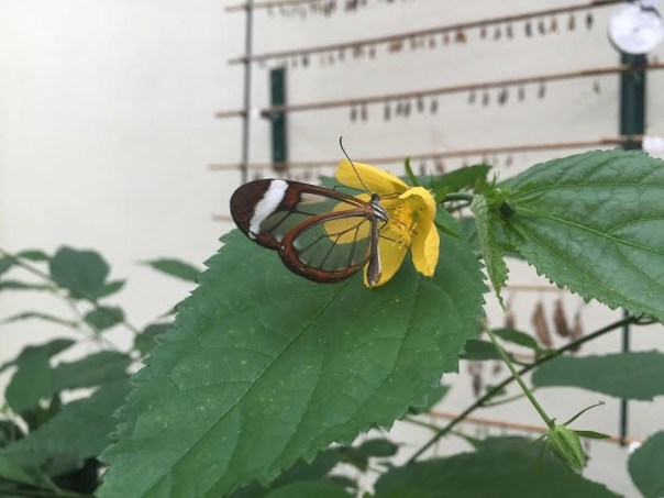 That's not an optical illusion, you can see right through the butterfly's wings!