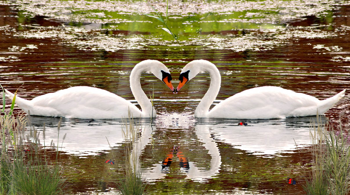 Swan Screensaver