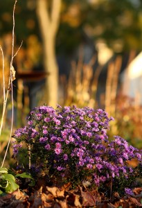 Photo of Aster Bush in Autumn