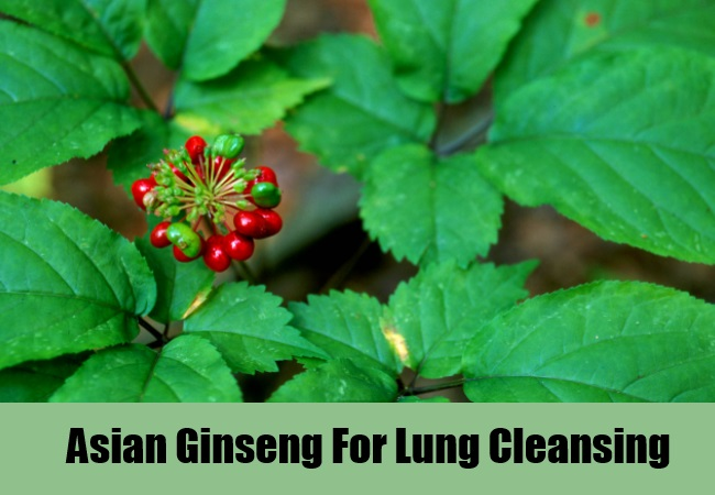 Asian Ginseng For Lung Cleansing