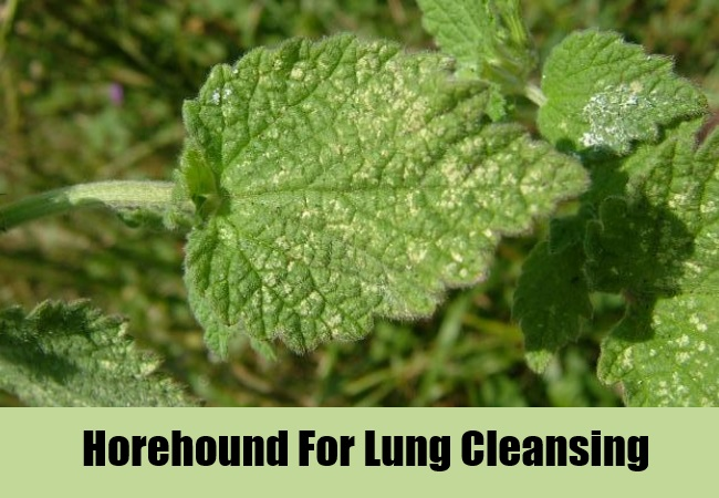 Horehound For Lung Cleansing