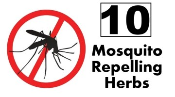 Mosquito Repelling Herbs