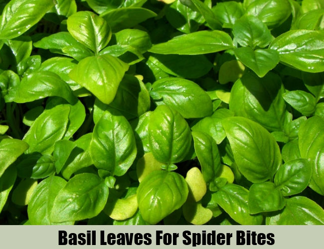 Basil Leaves For Spider Bites