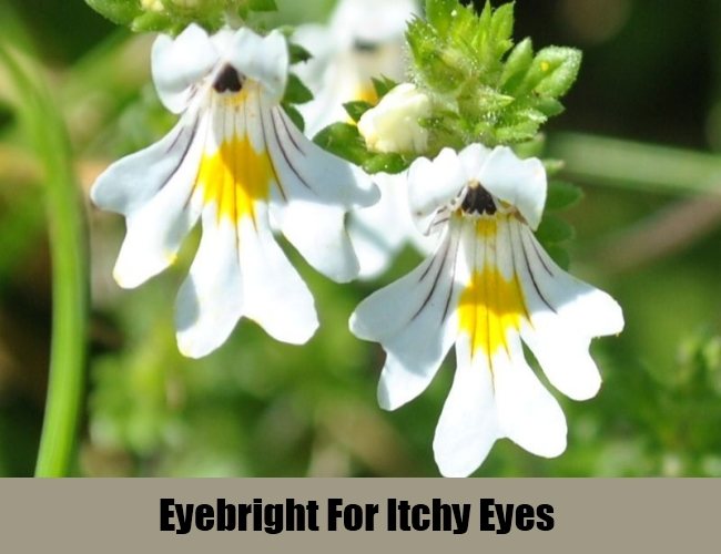 Eyebright For Itchy Eyes