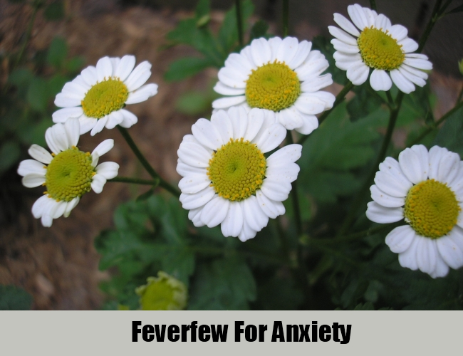 Feverfew For Anxiety
