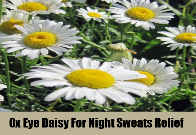 Ox Eye Daisy For Night Sweats Relief