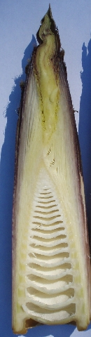 half a bamboo shoot