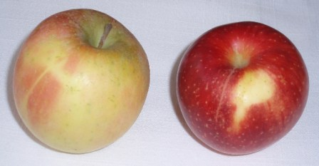 fuji and jonagold apples