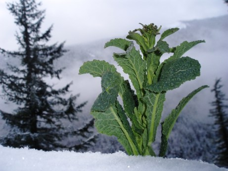kale rapini on Mt. Hood