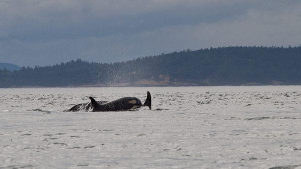 ORCAS-024