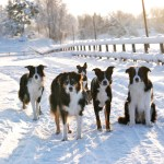 bordercollies121223