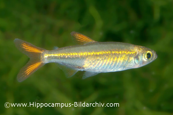 Ladigesia roloffi ? Jelly Bean Tetra ? Seriously Fish