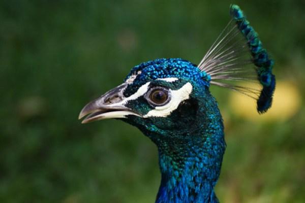 blog voyage australie australia whv backpacker animal bird paon