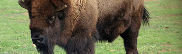 blog voyage canada danger bison