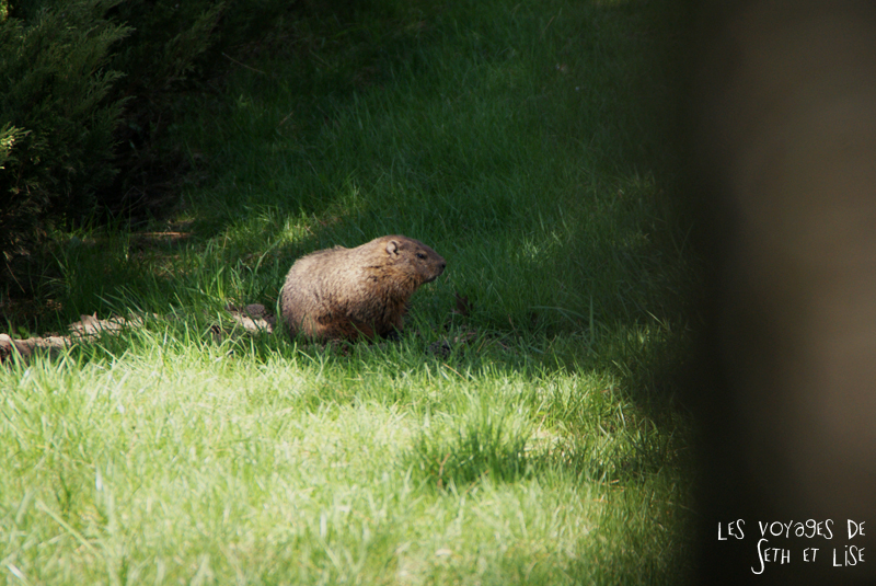 blog pvt canada montreal couple voyage marmotte commune mignonne arbre animal faune parc jean drapeau