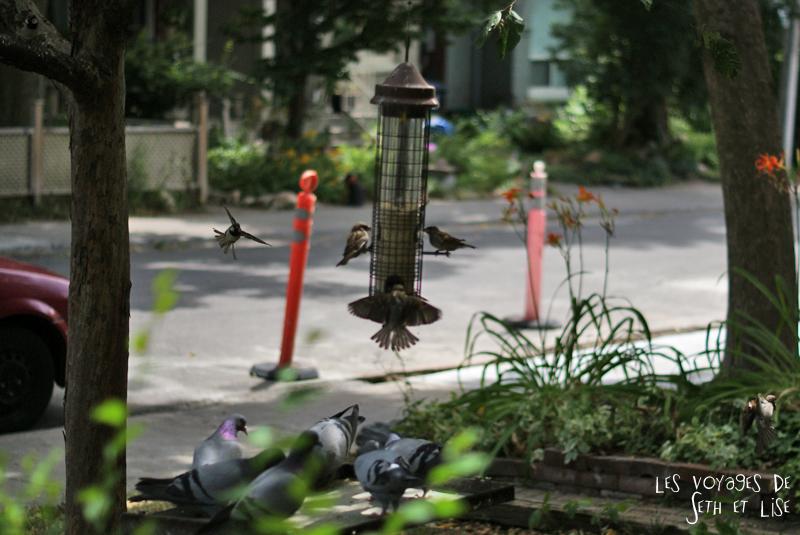 blog pvt canada whv toronto ontartio couple voyage travel tour du monde moineaux mangeoire pigeon oiseaux