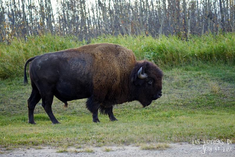 blog voyage canada pvt photo elk island alberta cute bison