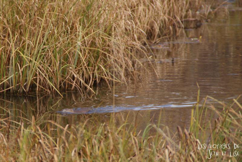 blog voyage canada pvt photo elk island alberta castor beaver