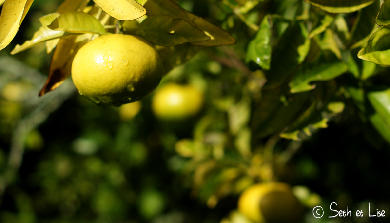 blog whv nouvelle zelande pvt voyage photographie seth lise auckland nord ile citron mandarine arbre