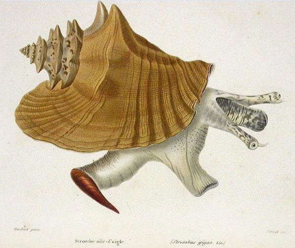 La griffe du Lobatus gigas. © Wikipedia