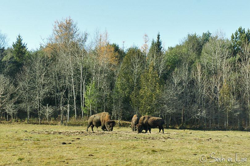 bison des bois