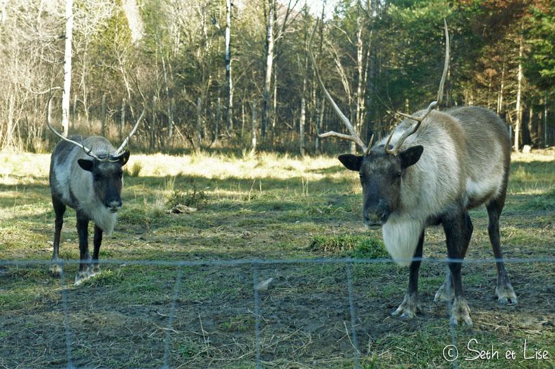 Les fameux caribous du Canada