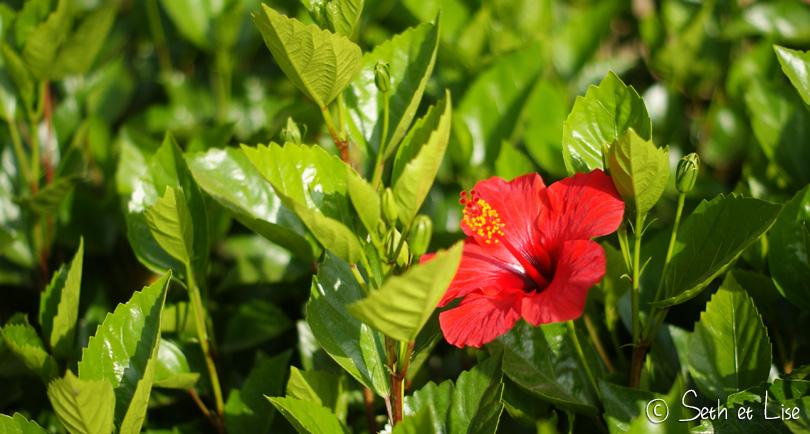 hibiscus rabat maroc