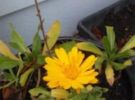 Yellow Winter Flower