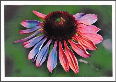 Coneflower. Chandra Lynn. LYA Side Swap 2017