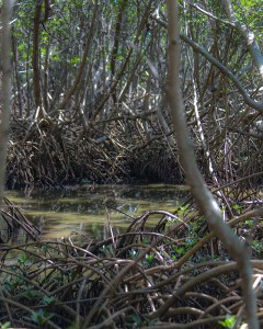 Along the Mangrove Swamp