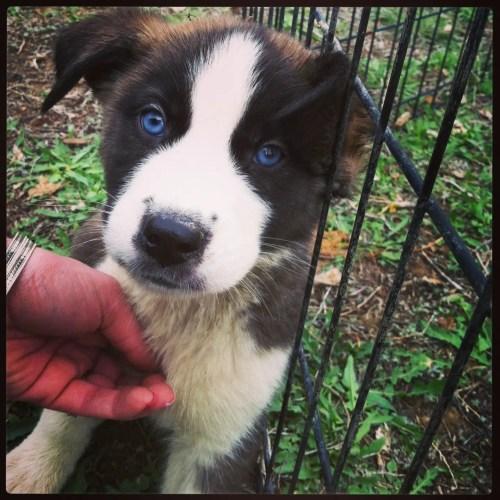 Medium Crop Of Husky Mix Puppies