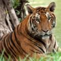 Photoshop-Elements-11-Course-headline-image-Tiger-e1369937263573.jpg