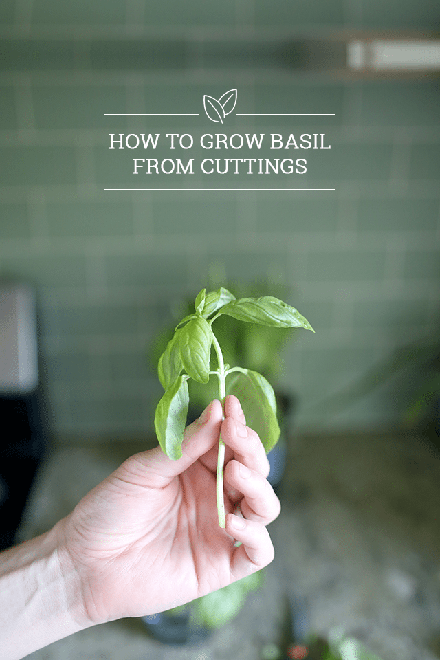 How to Grow Basil from Cuttings - Buy 1 Plant, Grow 10!