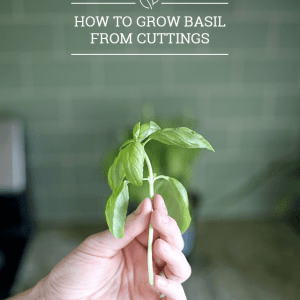 How to Grow Basil from Cuttings
