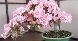 Small Of Cherry Blossom Bonsai Tree