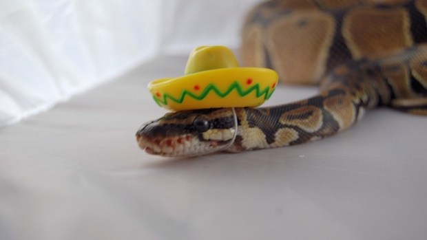 Snakes In Hats 16