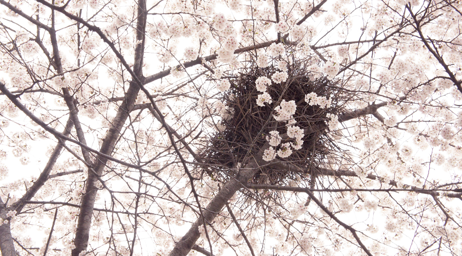 cherry_blossoms_07