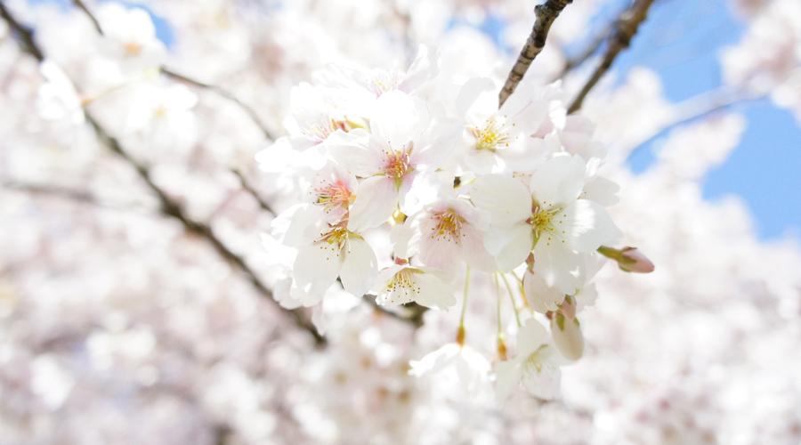 uw_cherry_blossoms10