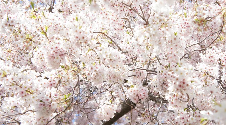 uw_cherry_blossoms9