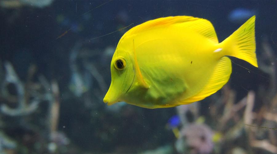 01-seattle-aquarium-yellow-fish