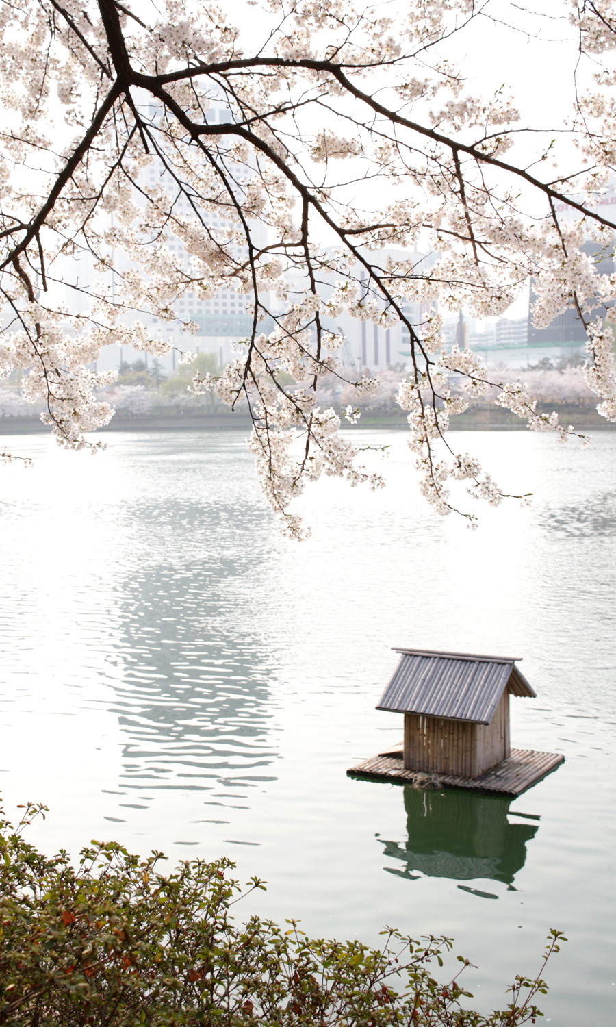 2015-04-09-korea-seoul-jamshil-seokchon-lake-cherry-blossoms-15