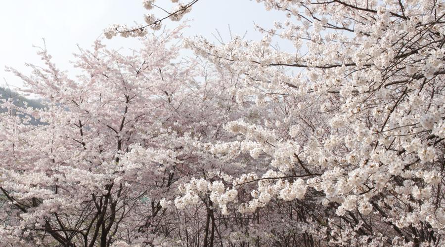 2015-04-11-korea-seoul-ansan-cherry-blossoms-08