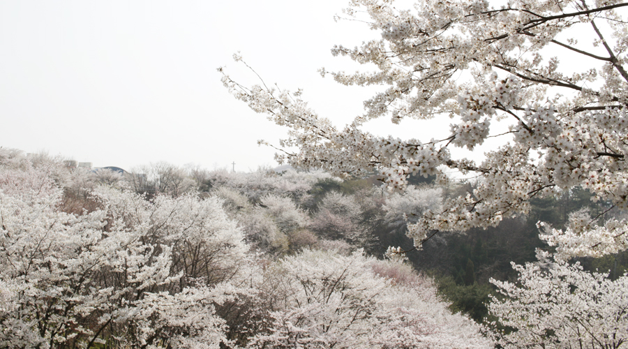 2015-04-11-korea-seoul-ansan-cherry-blossoms-09