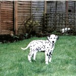 dalmation for recall 2520432_n