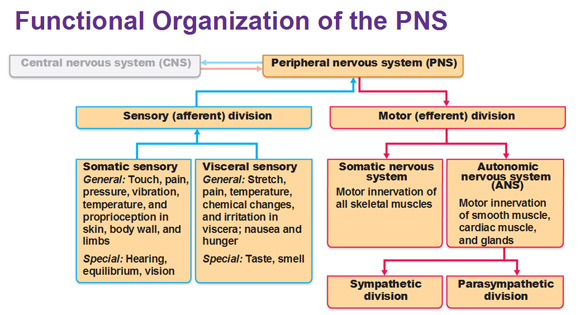 functional-organization-of-peripheral-nervous-system
